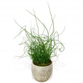 Pencil Grass £24.99