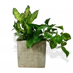 Golden Pothos £34.99