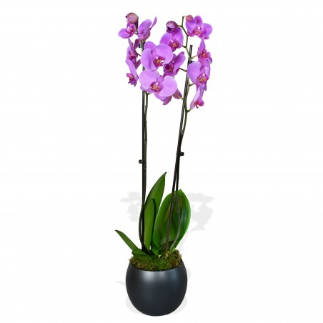 Phalaenopsis Orchids £35.00
